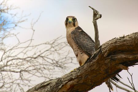 lanner: lanner falcon at kgalagadi national park