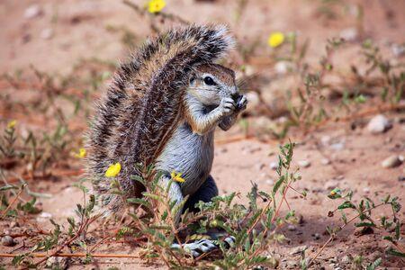 kgalagadi: wonderful ground squirrel at kgalagadi national park