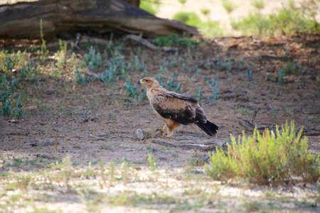 tawny: tawny eagle at kgalagadi national park Stock Photo