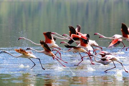 flamingoes taking off at  lake bogoria Stockfoto