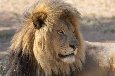 Lion in South Africa Banque d'images