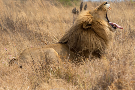 Beautiful lion South Africa