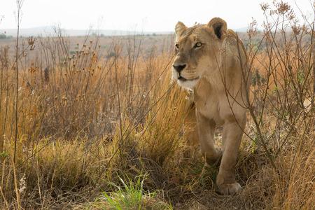 Leona de cerca Kruger