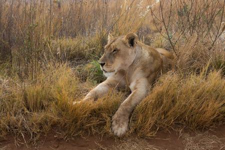 Lioness having rest Stock Photo