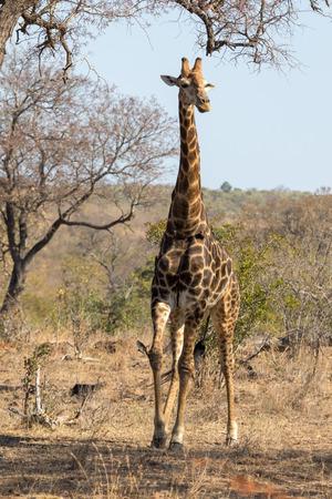 Girafe kruger National Park