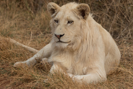 white lion lying on the grass
