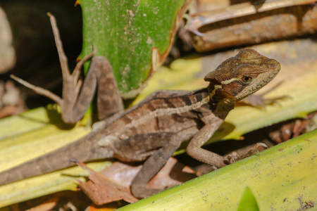 a female Jesus Christ Lizard Cahuita National Park South Africa Stock Photo