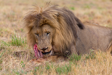 lion eating in the Kruger National Park South Africa 스톡 콘텐츠