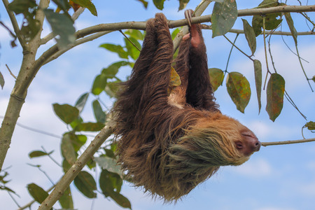 A sloth in the Cahuita National Park Costa Rica