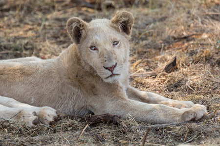 A white lion in South Africa Stock Photo