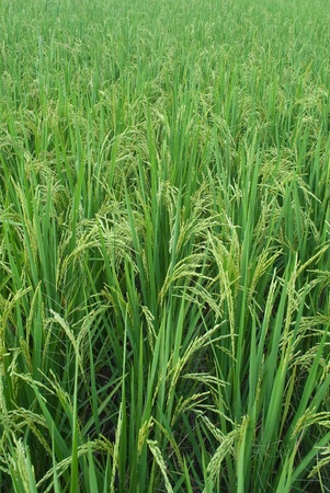 the rice in the field  photo