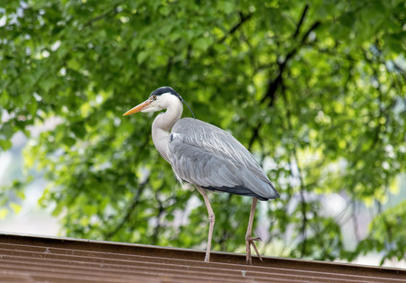 roof profile: Grey heron standing on a house roof.