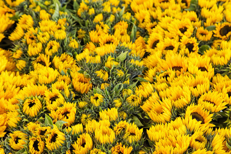 depth of field: Sunflowers, shallow depth of field.