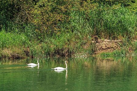 aargau: Two swans swimming along the shore of the Aare river in Switzerland in summertime, view from the city of Aarau - the capital of the Swiss canton of Aargau. The Aare is the longest river that both rises and ends entirely within Switzerland.