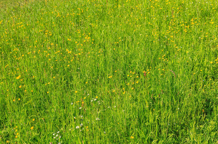 Fresh green grass with white and yellow flowers in spring background, shallow depth of field.