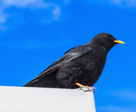 Alpine chough sitting on the top of a building on Mt. Titlis in Switzerland, about 3000 m above sea level.