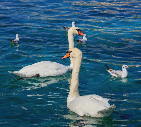 Swans and gulls on Lake Geneva in Switzerland.