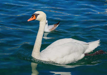 White swan swimming on Lake Geneva in Switzerland. Stock Photo