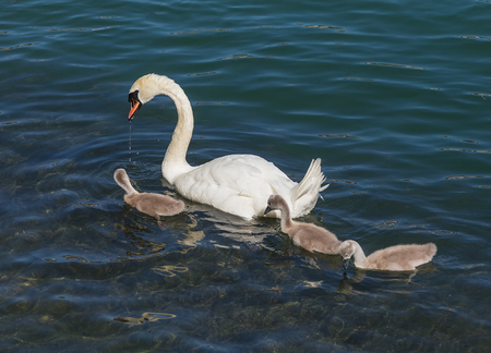 A white swan with three cygnets. The picture was taken in summertime on the Aare river in the city of Solothurn, Switzerland.