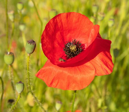 A red poppy flower, focus on the main subject, blurry background.