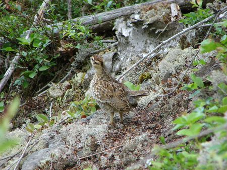 perdiz: Partridge Chick en Forest