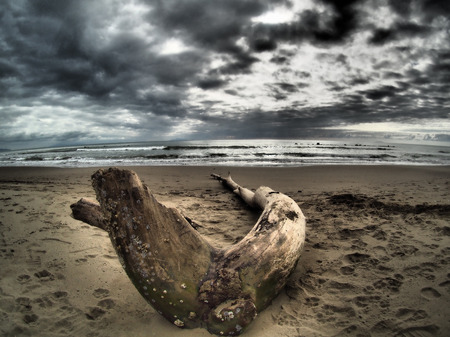 winter storm: Part of a dead tree has landed on a beach after a winter storm