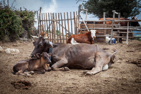 Photo of calves and oxen taken in Sicily in madonie