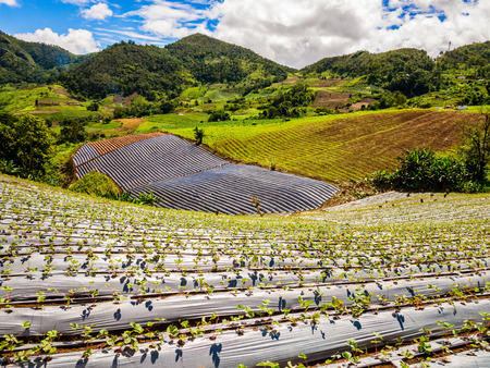 Panoramic view of a strawberry field in Thailand photo