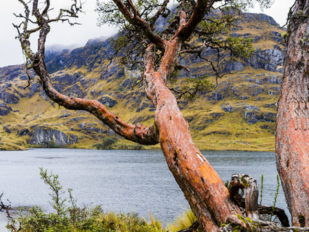 Majestic paper tree in Cajas National Park, Ecuador