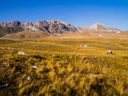 Stunning landscape with grazing cows in the meadows of Campo Imperatore valley, Gran Sasso National Park, Abruzzo region, Italy