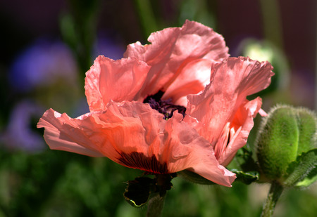 Pink Poppy in a spring breeze and bright sun showing the delicate petals  Imagens