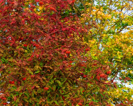 Mountain ash leaves and clusters of riped berries in autumn. Close-up. Red, yellow, green leaves in early autumn.