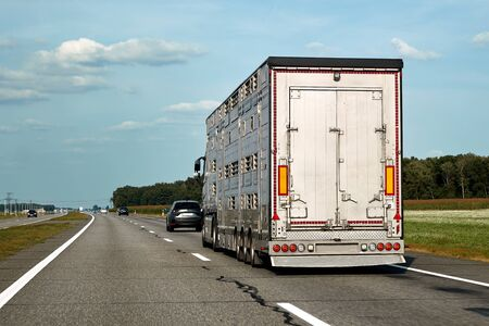 Truck carries domestic animals, cattles, livestocks along the highway, side view of the trailer