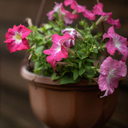 Pink petunia blooms in a flower pot hanging along the wall