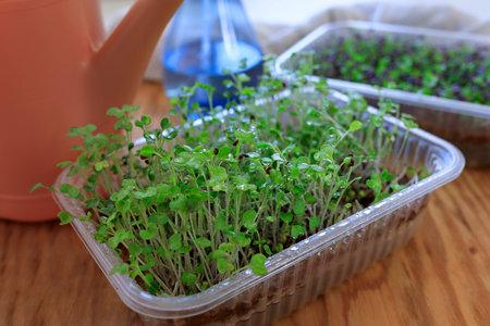selective focus photo of wet kohlrabi microgreens after spraying. city farming indoor concept.