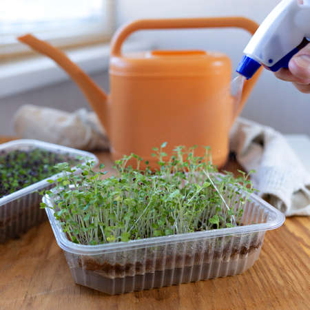 selective focus photo of kohlrabi microgreens during spraying. city farming indoor concept.