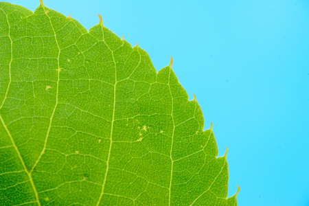 macro texture of natural organic green leaf from the tree