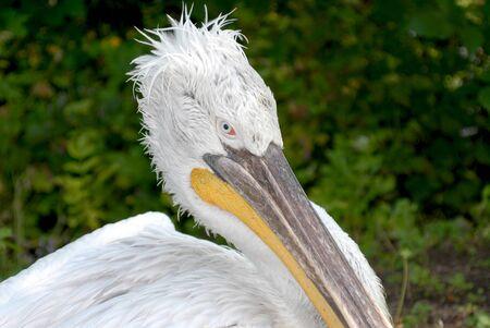 pelican, zoo park, birds, marine animals, Dalmatian pelican photo