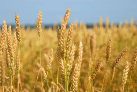 ripe wheat yellow against the blue sky photo