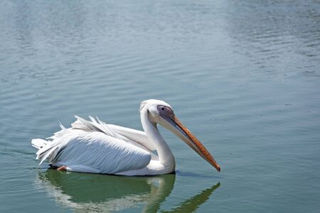 wild life: white Pelican in wild life summer