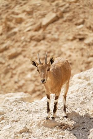 cabra en la naturaleza, entre las rocas y acantilados Foto de archivo