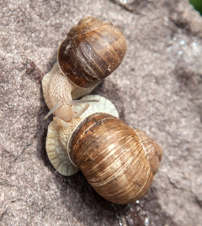 hermaphrodite: love snail close-up in nature in the summer Stock Photo