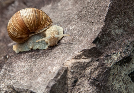hermaphrodite: lonely snail close-up in nature in the summer Stock Photo