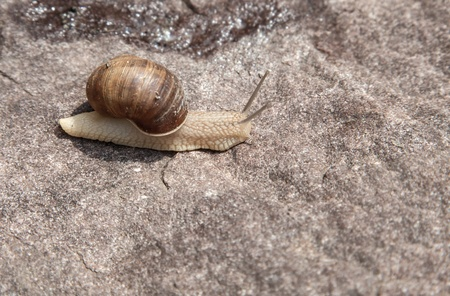 hermaphrodite: snail crawling on a stone close-up in nature in the summer Stock Photo