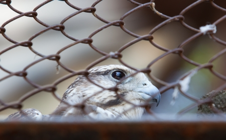locked up: portrait of a falcon, locked up the zoo day