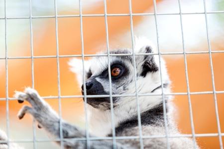mockery: Portrait of a lemur behind bars, locked up a day