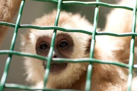 mockery: portrait of a monkey in a zoo behind bars, day Stock Photo
