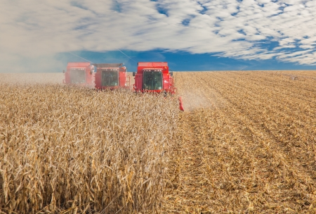 Combine in a field, at the harvest in autumn photo