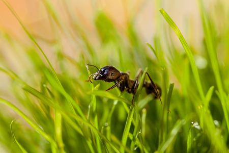 hormiga hoja: hormiga macro en la hierba con roc�o