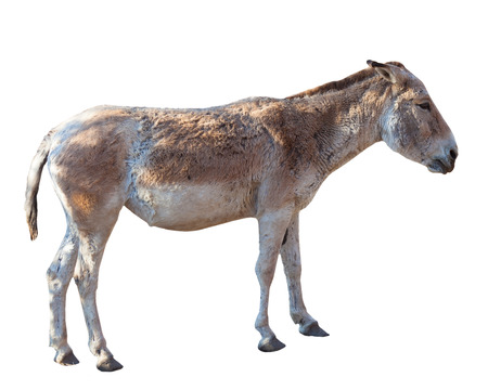 big ass: donkey standing isolated white background